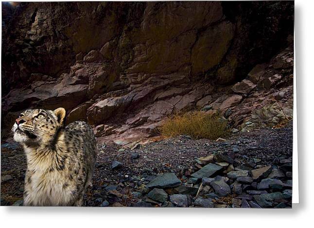 Remote Cameras Greeting Cards - Low-light Vision Allows Snow Leopards Greeting Card by Steve Winter