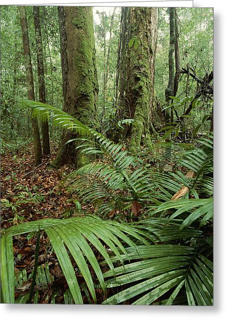 Park Scene Greeting Cards - Lowland Rainforest With Dipterocarp Greeting Card by Tim Laman