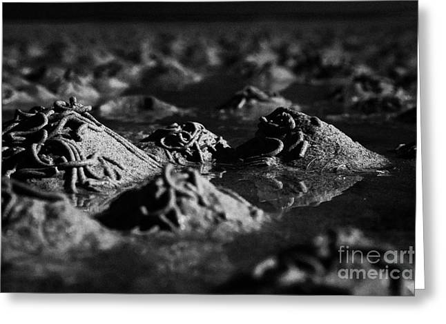 Flooding Greeting Cards - Lugworm Arenicola Marina Casts On Mudflats In Strangford Lough County Down  Greeting Card by Joe Fox