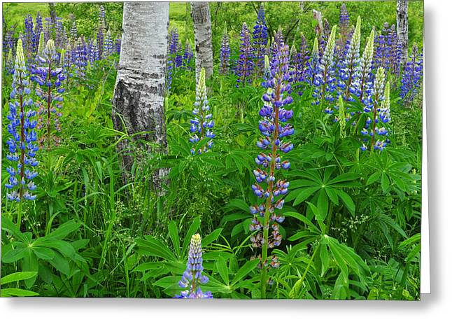 Mt Desert Island Greeting Cards - Luminous Lupines and Aspen Trunk Greeting Card by Thomas Schoeller