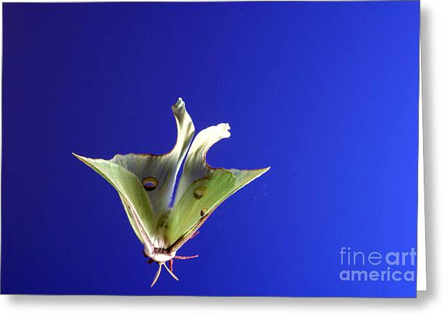 Flash Photography Greeting Cards - Luna Moth In Flight Greeting Card by Ted Kinsman