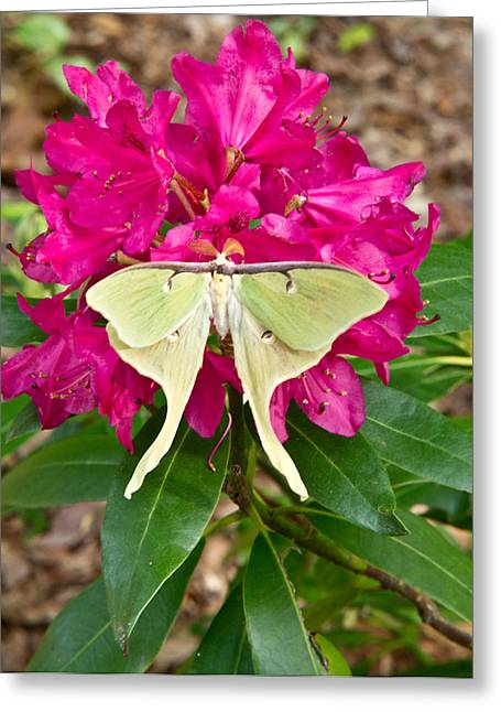 Tennessee Greeting Cards - Luna Moth on Rhododendron Greeting Card by Douglas Barnett