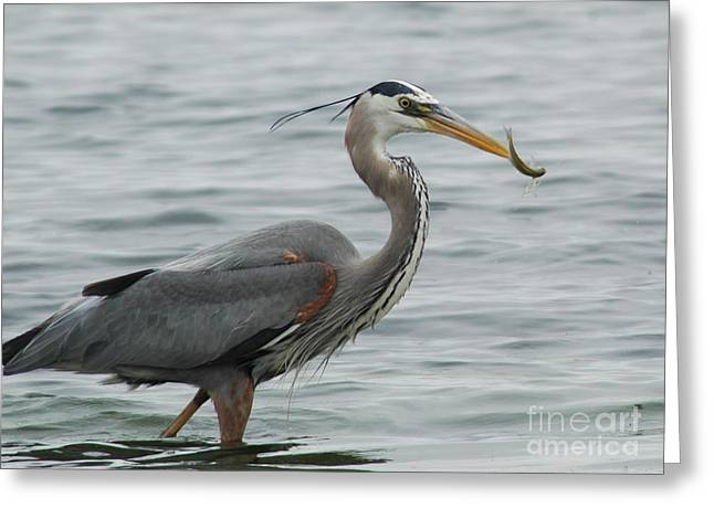 Great Blue Heron Framed Print Greeting Cards - Lunch Greeting Card by Johanne Peale