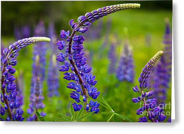 Blossoming Greeting Cards - Lupine Curves Greeting Card by Susan Cole Kelly