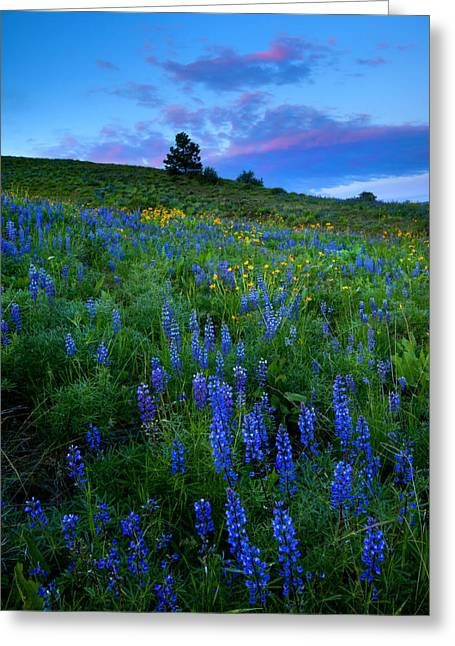 Lupine Greeting Cards - Lupine Sunset Greeting Card by Mike  Dawson