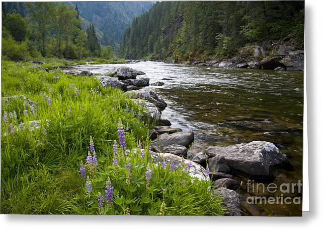 North Idaho Greeting Cards - Lupines at dawn Greeting Card by Idaho Scenic Images Linda Lantzy
