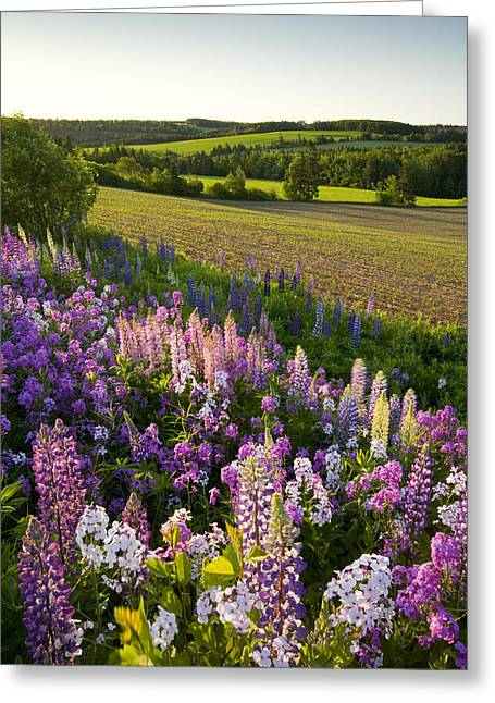 Purple Phlox Greeting Cards - Lupins And Phlox Flowers, Clinton Greeting Card by John Sylvester