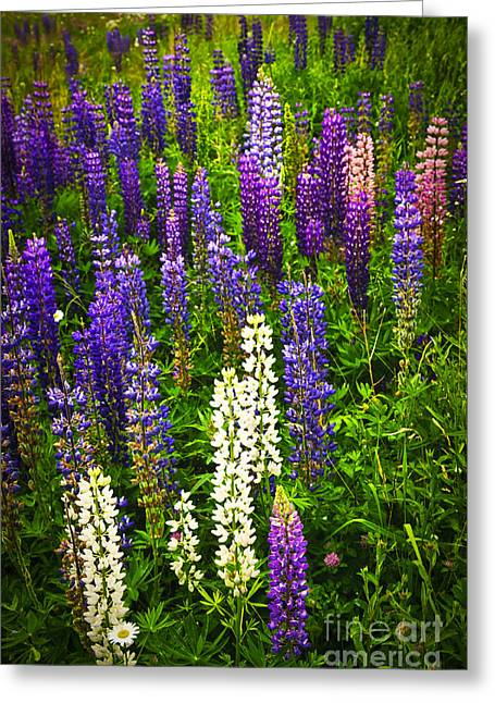 Lupin Greeting Cards - Lupins in Newfoundland meadow Greeting Card by Elena Elisseeva