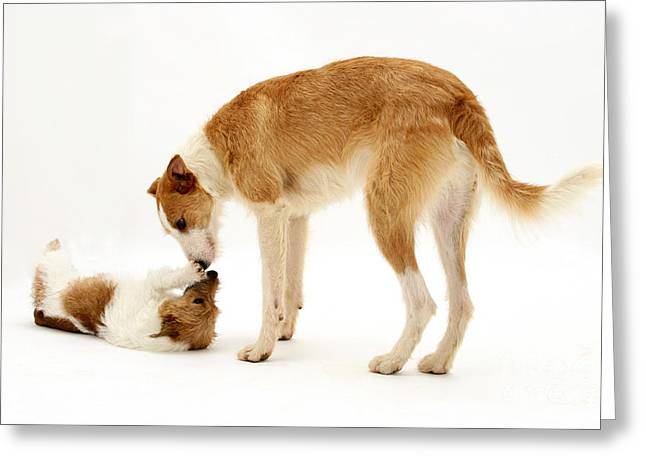 Lurcher Greeting Cards - Lurcher And Jack Russell Terrier Greeting Card by Jane Burton