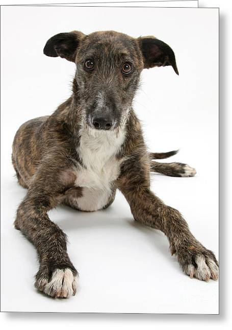 Perk Greeting Cards - Lurcher Dog Greeting Card by Mark Taylor