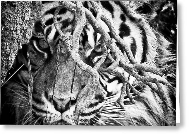 Defiance Greeting Cards - Lurking II Greeting Card by David Patterson