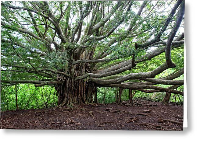 Banyan Tree Greeting Cards - Lush tropical banyan tree Greeting Card by Pierre Leclerc Photography