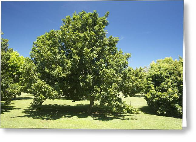 Fruit Tree Art Greeting Cards - Macadamia Nut Tree Greeting Card by Kicka Witte - Printscapes
