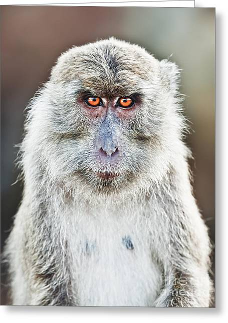 Macaque Portrait Greeting Card by MotHaiBaPhoto Prints
