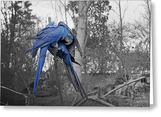 Purchase Greeting Cards - Macaw Couple Greeting Card by Steven  Michael