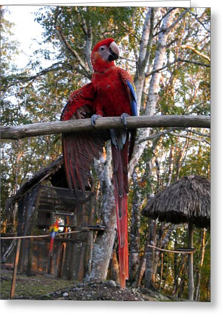 Macaw Parrot Greeting Cards - Macaw Guatemala Greeting Card by Kurt Van Wagner