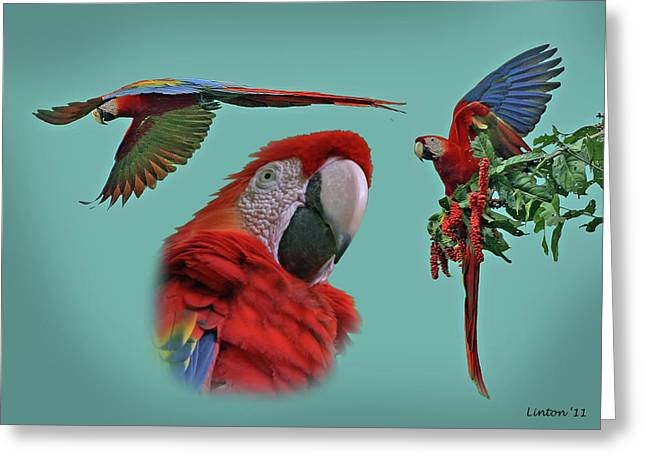 Scarlet Macaw Greeting Cards - Macaw Montage Greeting Card by Larry Linton