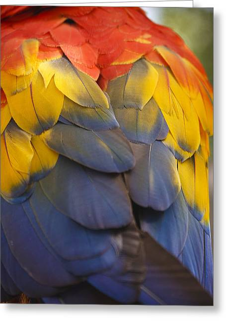 Macaw Art Greeting Cards - Macaw Parrot Plumes Greeting Card by Adam Romanowicz