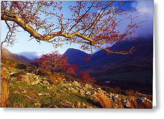 Black Berries Greeting Cards - Macgillycuddys Reeks, County Kerry Greeting Card by Gareth McCormack