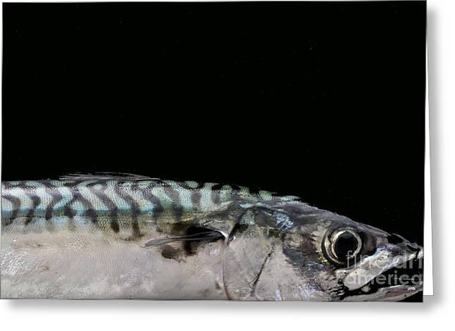 Fresh Fish Greeting Cards - Mackeral Greeting Card by Marion Galt