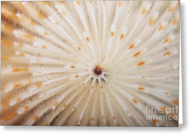 Undersea Photography Greeting Cards - Macro Image Of A Christmas Tree Worm Greeting Card by Terry Moore