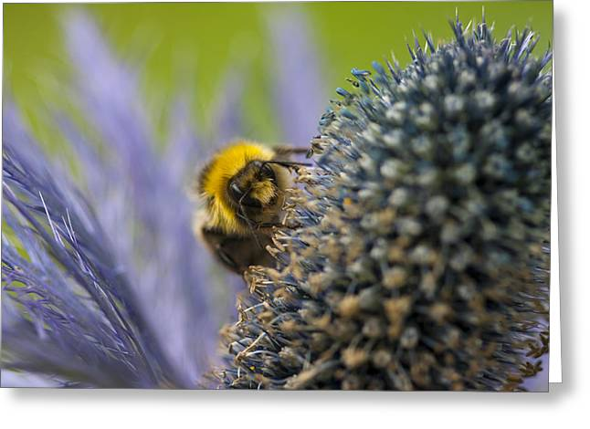 Beeswax Greeting Cards - Macro of a bee on a Thistle Greeting Card by Zoe Ferrie