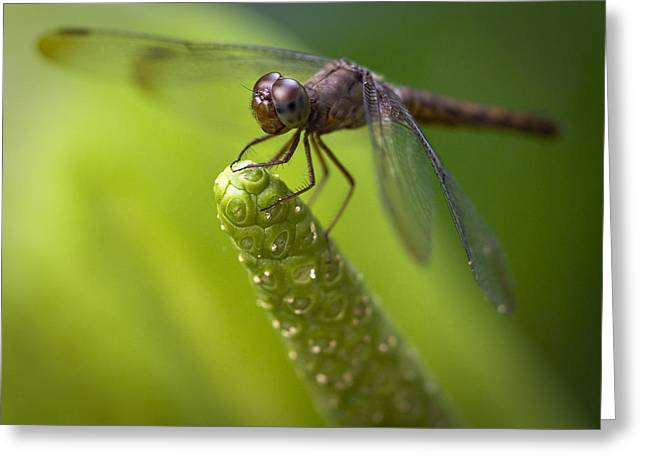 Hiding Greeting Cards - Macro of a Dragonfly - focus stacked image Greeting Card by Zoe Ferrie