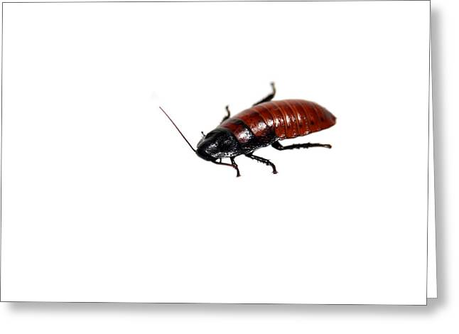 Cockroach Greeting Cards - Madagascar Hissing Cockroach Greeting Card by Michael Ledray