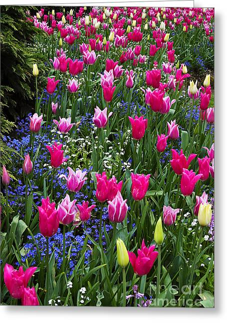 Spring Bulbs Greeting Cards - Magenta and White Tulips Greeting Card by Louise Heusinkveld