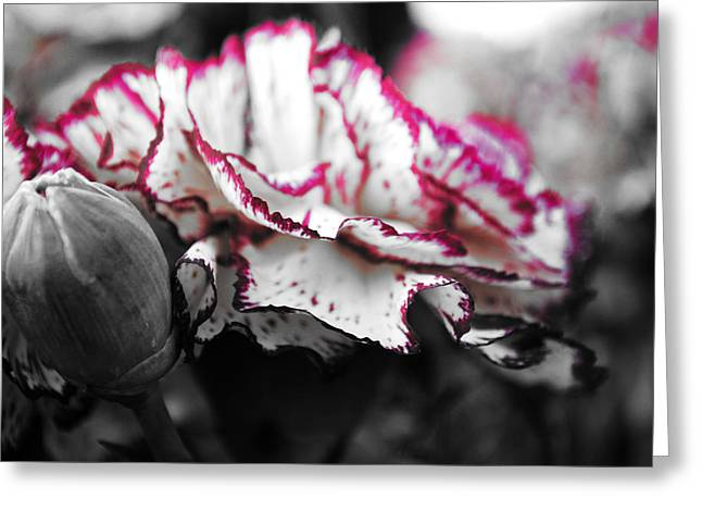 Chic Greeting Cards - Magenta Carnation Greeting Card by Sumit Mehndiratta