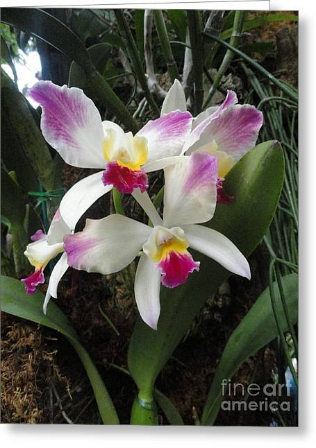 Orchid Canvas Greeting Cards - Magenta Drops Greeting Card by Trish Hale