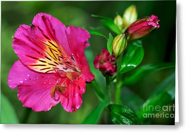 Peruvian Lily Greeting Cards - Magenta Princess Lily and Buds Greeting Card by Kaye Menner