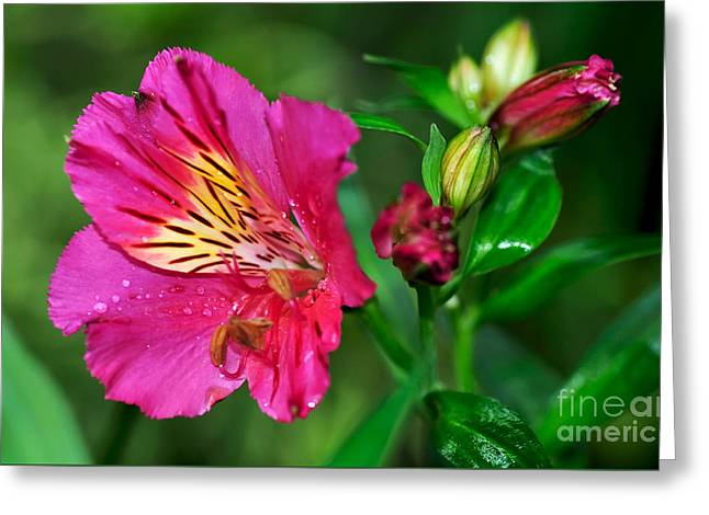 Lily Stamen Greeting Cards - Magenta Princess Lily and Buds Greeting Card by Kaye Menner