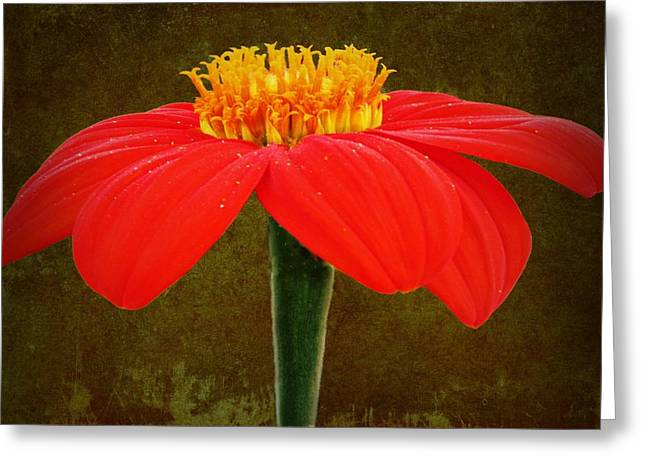 Beach Photos Greeting Cards - Magenta Zinnia Flower Greeting Card by David Dehner
