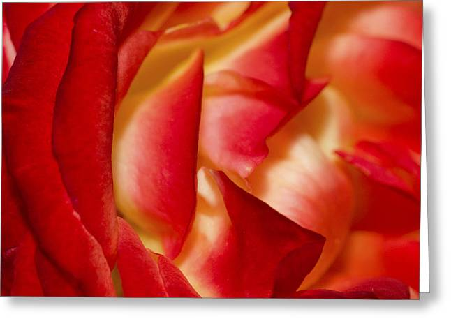 Rose Petals Greeting Cards - Maggies Rose Greeting Card by Rich Franco