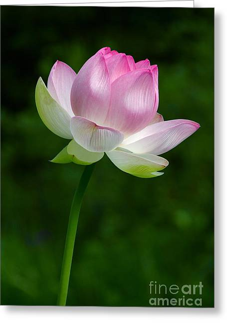 Lotus Full Bloom Greeting Cards - Magical Lotus Flower Greeting Card by Byron Varvarigos