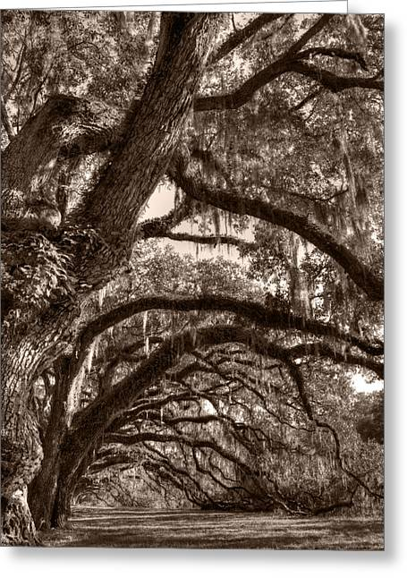Live Oak Trees Greeting Cards - Magnificant Live Oak Trees  Greeting Card by Dustin K Ryan