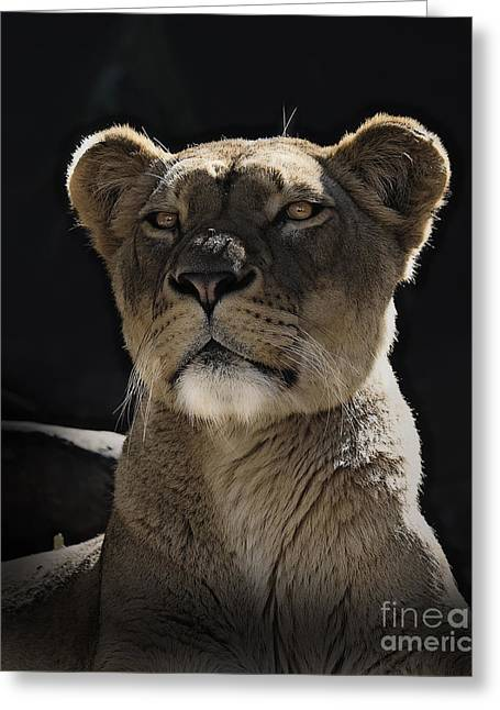 Beautiful Day Greeting Cards - Magnificent lioness Greeting Card by Sheila Smart