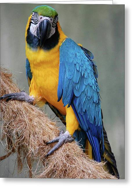Vicky Browning Greeting Cards - Magnificent Macaw Greeting Card by DigiArt Diaries by Vicky B Fuller