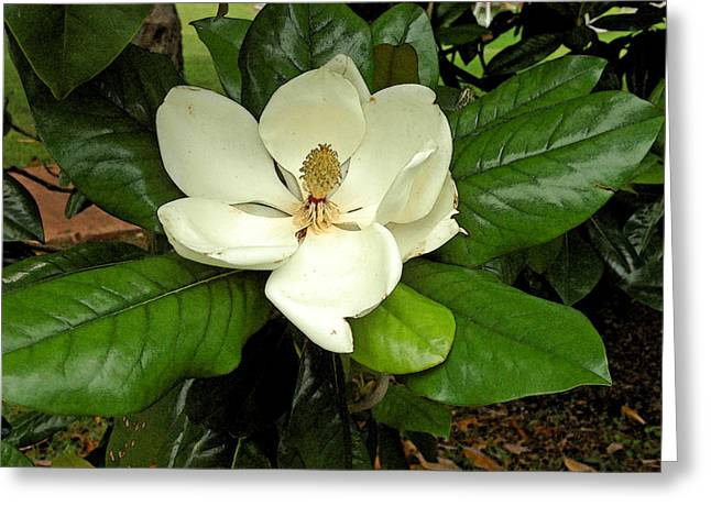 Robert Anschutz Greeting Cards - Magnificent Magnolia Greeting Card by Robert Anschutz