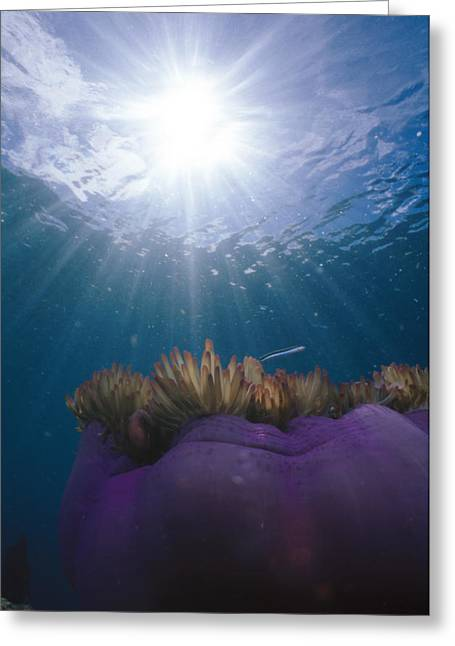 Two Fish Greeting Cards - Magnificent Sea Anemone And Sunburst Greeting Card by James Forte