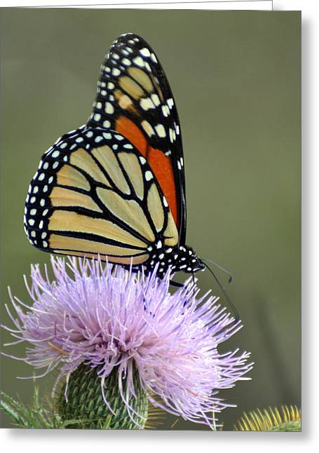 Magnificient Monarch Greeting Card by Marty Koch