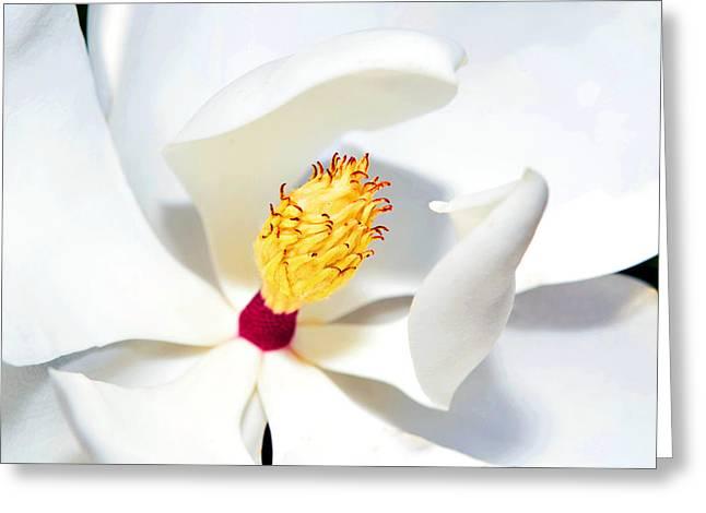Magnolia Bloom Greeting Card by Susan Leggett