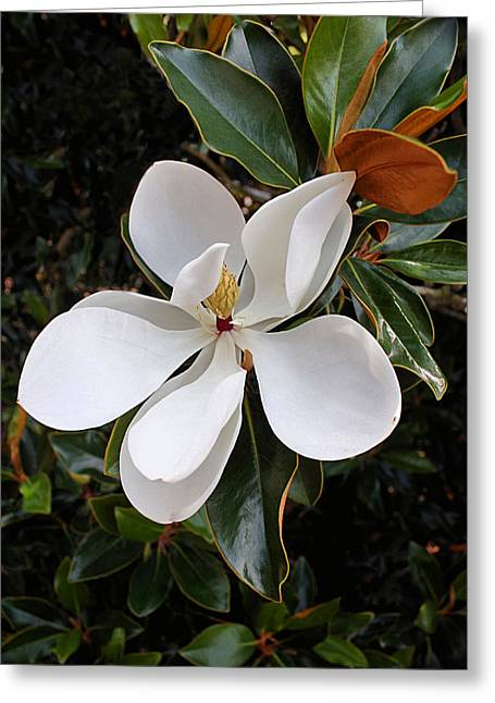 Graceful Tree Greeting Cards - Magnolia Blossom Greeting Card by Kristin Elmquist