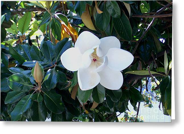 Scenic View Greeting Cards - Magnolia Blossom Greeting Card by The Kepharts