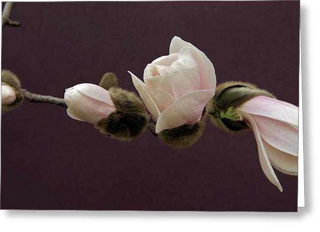 Garden Petal Image Greeting Cards - Magnolia Blossoms Greeting Card by Michael Peychich