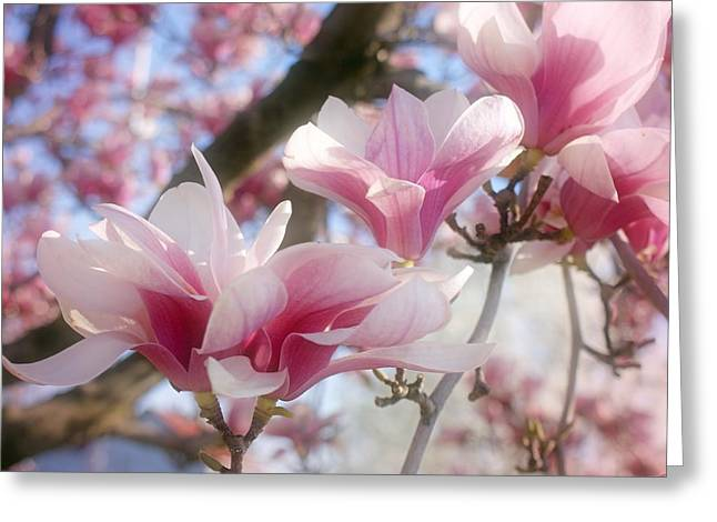 Pink Blossoms Digital Art Greeting Cards - Magnolia Blossoms Greeting Card by Sandy Keeton