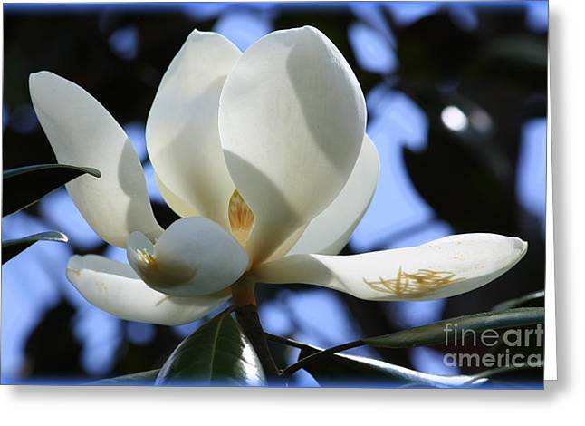 Sunlight On Flowers Greeting Cards - Magnolia in Blue Greeting Card by Carol Groenen