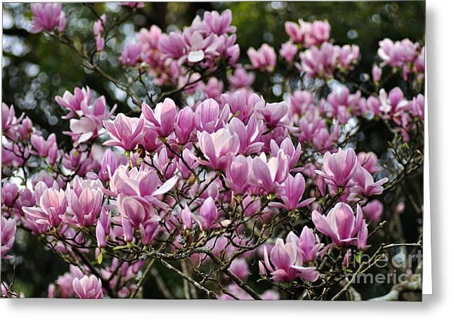 In Full Bloom Greeting Cards - Magnolia in full bloom Greeting Card by Kaye Menner