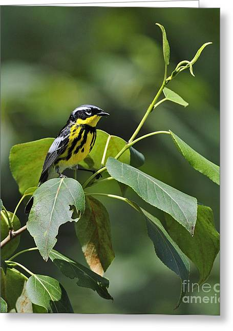 Setophaga Magnolia Greeting Cards - Magnolia Warbler Greeting Card by Nina Stavlund